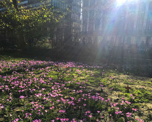 Crocuses blooming in Tavistock Square yesterday